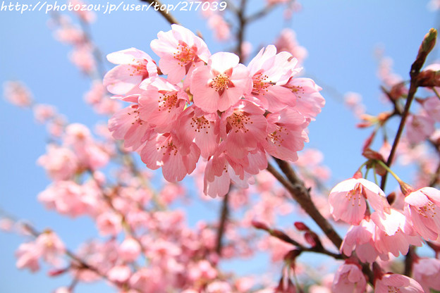 IMG_3454本郷・桜