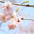 IMG_3618大野寺・枝垂桜