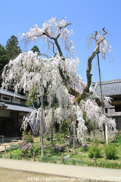 IMG_3636大野寺・小糸枝垂桜