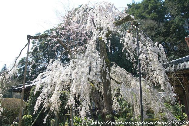 IMG_3638大野寺・小糸枝垂桜