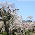IMG_3652大野寺・小糸枝垂桜