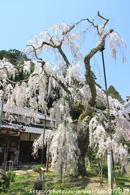 IMG_3660大野寺・小糸枝垂桜