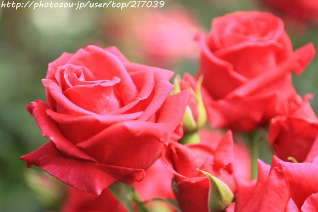 IMG_4751薔薇(ヘンケル ロイヤル)