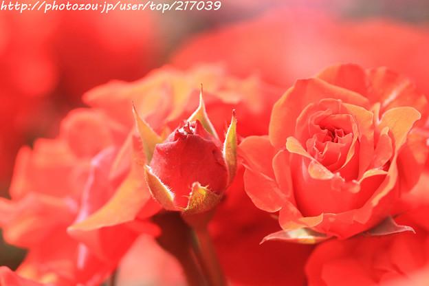 IMG_4785薔薇(オリンピック・ファイヤー)