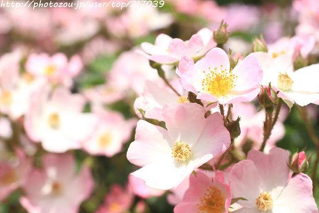 IMG_4853薔薇(バレリーナ)