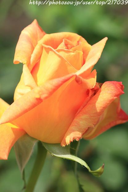 IMG_4941薔薇(ディオラマ)