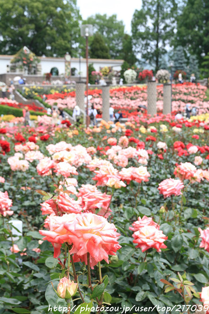 IMG_5060薔薇