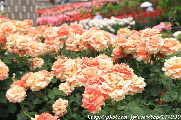 IMG_5062薔薇