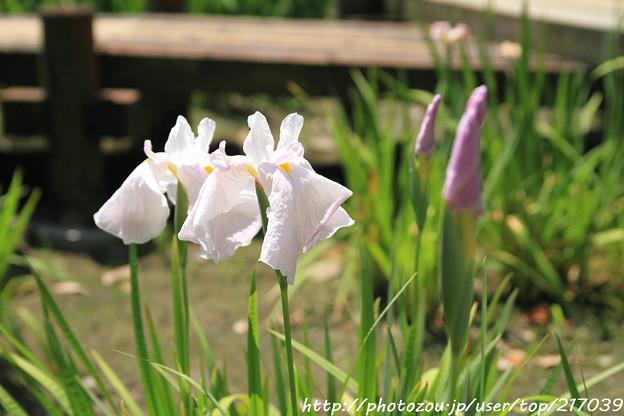 IMG_5565日本庭園・花しょうぶ田・花菖蒲(乙女)