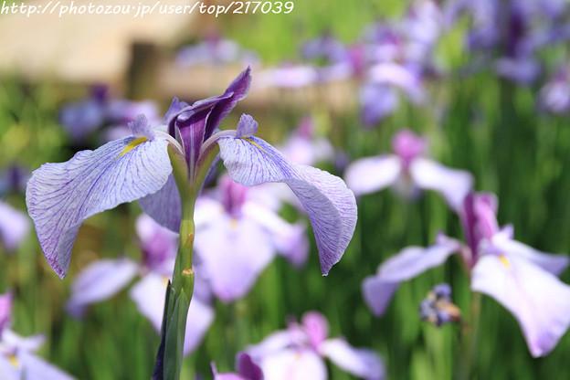 IMG_5595日本庭園・花しょうぶ田・花菖蒲(紬娘)