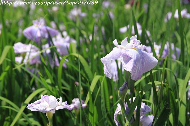 IMG_5602日本庭園・花しょうぶ田・花菖蒲(花物語)