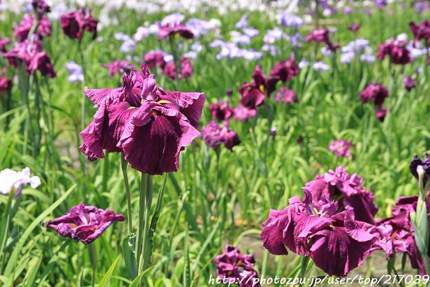 IMG_5607日本庭園・花しょうぶ田・花菖蒲(業平)