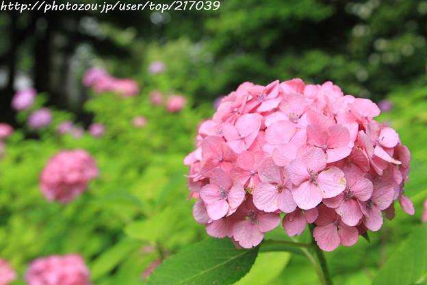 IMG_5771紫陽花