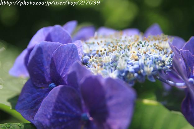 IMG_5803額紫陽花