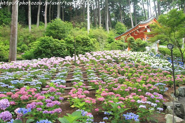 IMG_5938あじさい園・紫陽花と山門