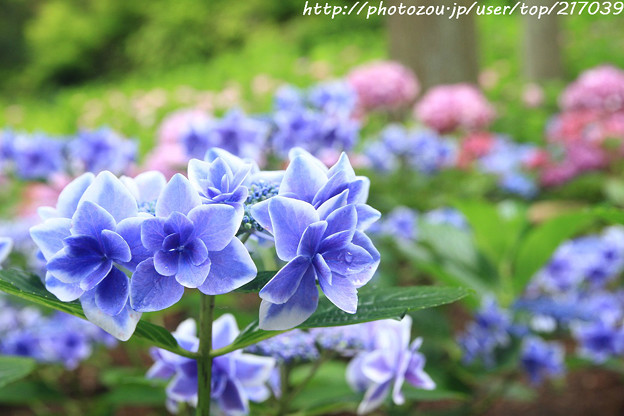 IMG_5946あじさい園・額紫陽花(金平糖)