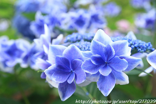 IMG_5949あじさい園・額紫陽花(金平糖)