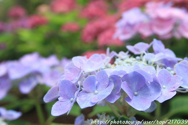 IMG_5953あじさい園・額紫陽花