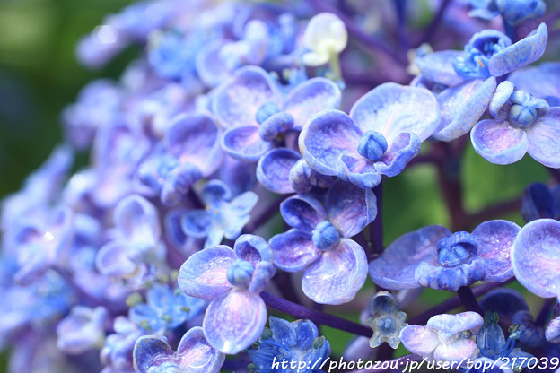 IMG_6003紫陽花