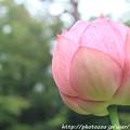 写真: IMG_6020蓮