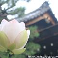写真: IMG_6031蓮と玄関
