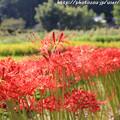 Photos: IMG_6891葛城古道・彼岸花