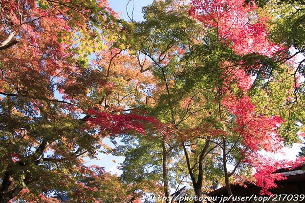 写真: IMG_7246永源寺・いろは紅葉