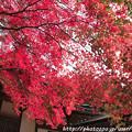 写真: IMG_7551西明寺・いろは紅葉