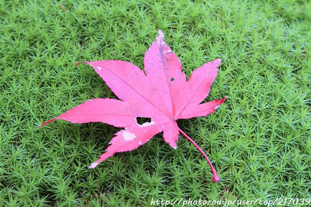 IMG_7589西明寺・散り紅葉と苔