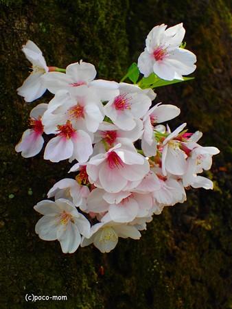胴咲桜 P4122380