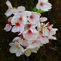 写真: 胴咲桜 P4122380