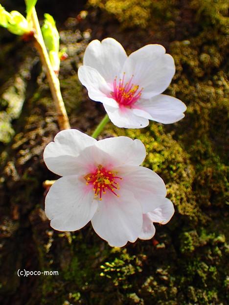 写真: 胴咲桜 P4122389