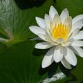 可憐な白花