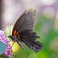 ナガサキアゲハ ♀ 2