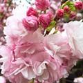 写真: 桜の花手毬