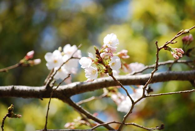 Photos: 桜開花宣言!in宮崎3