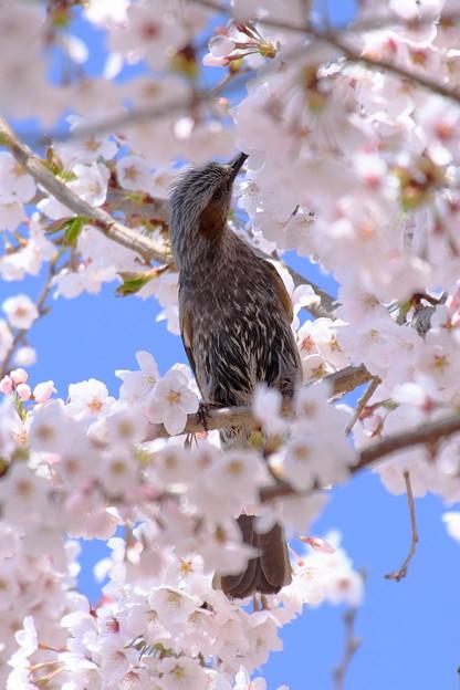 写真: 桜に恋して