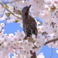 Photos: 桜に恋して