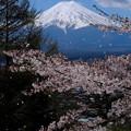 富士と桜吹雪