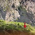 お地蔵さまとしだれ桜