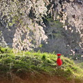 写真: お地蔵さまとしだれ桜