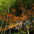 写真: 竹林と紅葉