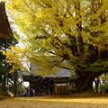 西連寺大銀杏
