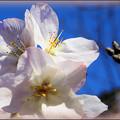 Photos: ほんのり桜色
