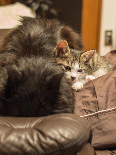 一瞬なんだが、寄り添って、仔猫は老黒猫を舐めた
