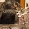 写真: 一瞬なんだが、寄り添って、仔猫は老黒猫を舐めた