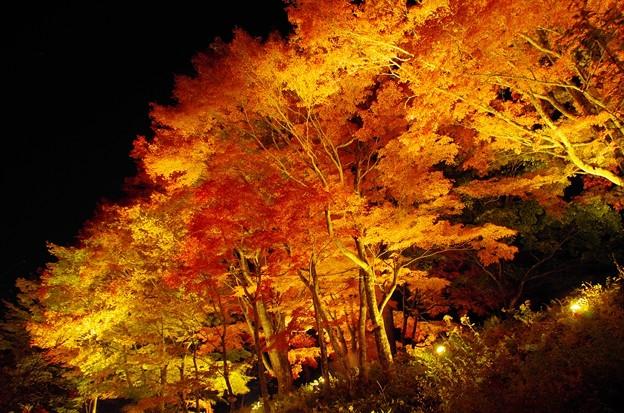 2014富士山麓の秋150「山中湖紅葉ライトアップ」