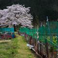 写真: 里山に咲く桜
