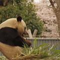 パンダとサクラ