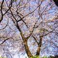 写真: 桜の樹がお出迎え